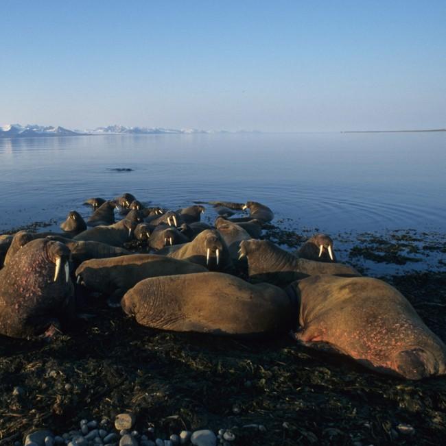 Rostungar til forna við Ísland – náttúrusaga og mannvistfræði
